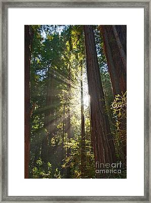 Redwood Forest Of Muir Woods National Monument In San Francisco. Framed Print