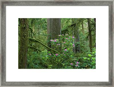 Redwood Trees And Rhododendron Flowers Framed Print by Panoramic Images