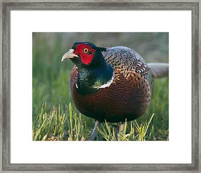 Ring-necked Pheasant Framed Print by Doug Herr