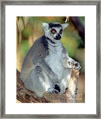 Ring-tailed Lemur Lemur Catta Framed Print by Millard H. Sharp