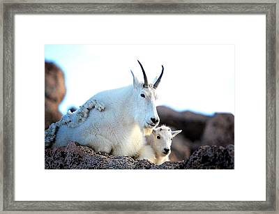 Rocky Mountain Goats 2 Framed Print by Lena  Owens OLena Art