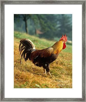 Rooster Framed Print by Hans Reinhard