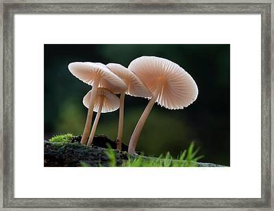 Rooting-bonnet-cap Fungus Framed Print by Nigel Downer