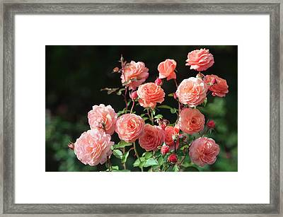 Rosa 'louise Clements' Flowers Framed Print by Maria Mosolova
