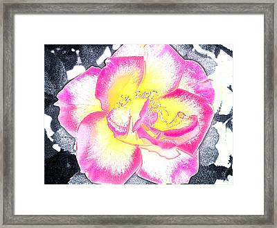 Rose 3 Framed Print by Pamela Cooper
