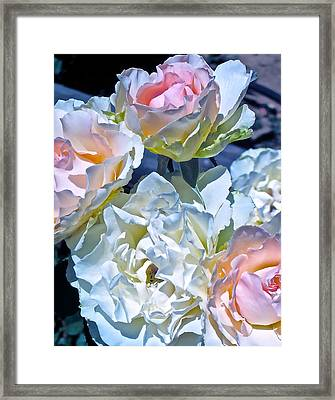Rose 59 Framed Print by Pamela Cooper