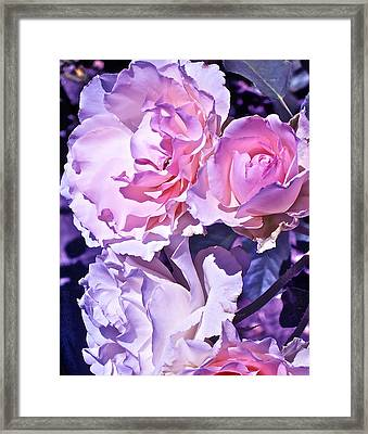 Rose 60 Framed Print by Pamela Cooper