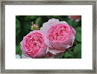 Rose Constance Spry Framed Print by Sabine Edrissi
