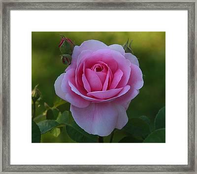 Rose Of Spring Framed Print by Edward Kocienski
