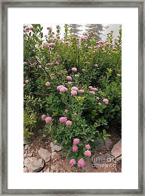 Rosy Spirea Spiraea Splendens Framed Print