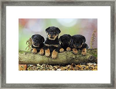 Rottweiler Puppy Dogs Framed Print by John Daniels