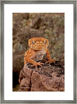 Rough Knob-tail Gecko, Nephrurus Amyae Framed Print by David Northcott