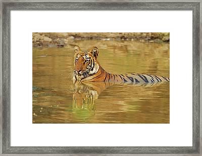 Royal Bengal Tiger At The Waterhole Framed Print