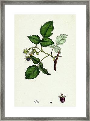 Rubus Idaeus Raspberry Framed Print by English School