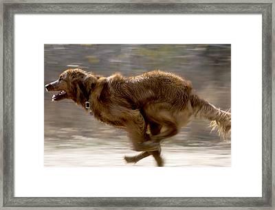 Running Golden Retriever Framed Print by William H. Mullins