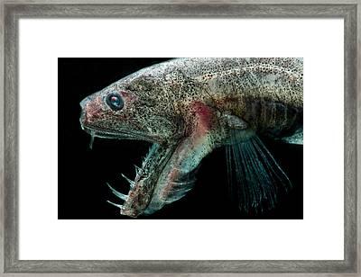 Sabertooth Odontostomops Normalops Framed Print by Dant� Fenolio