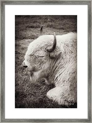 Sacred Buffalo Framed Print