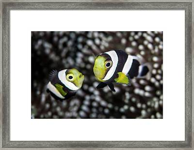 Saddleback Anemonefish Framed Print by Ethan Daniels