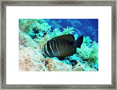 Sailfin Tang Fish Framed Print