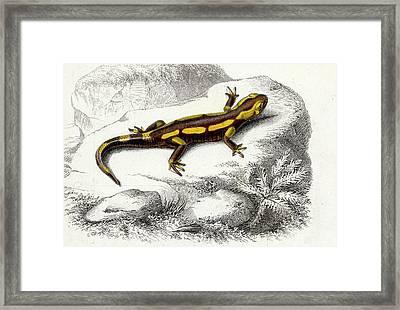 Salamander Framed Print