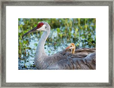 Sandhill Crane On Nest With Baby Framed Print