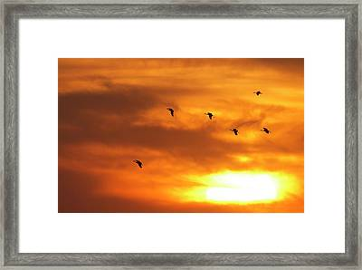 Sandhill Cranes (grus Canadensis Framed Print by William Sutton