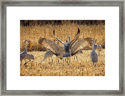 Sandhill Cranes In The Corn Fields Framed Print