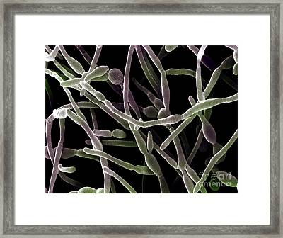 Scanning Electron Micrograph Of Candida Framed Print