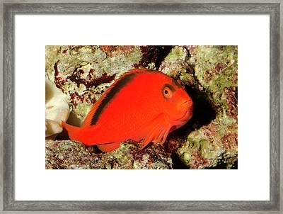 Scarlet Hawkfish Or Flame Hawkfish Framed Print by Nigel Downer