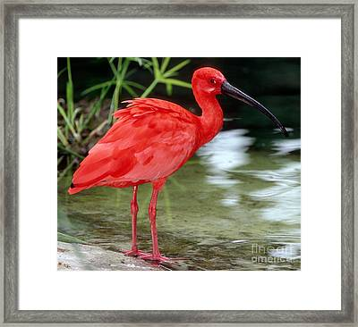 Scarlet Ibis Framed Print by Millard H Sharp