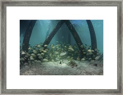 School Of Grunt Fish Beneath A Pier Framed Print