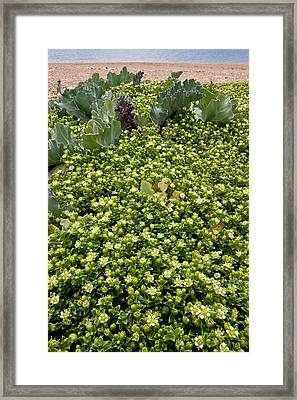 Sea Sandwort (honckenya Peploides) Framed Print by Bob Gibbons