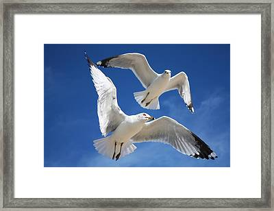 Seagulls In Love Framed Print