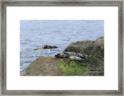 Seal Framed Print by Henrik Lehnerer