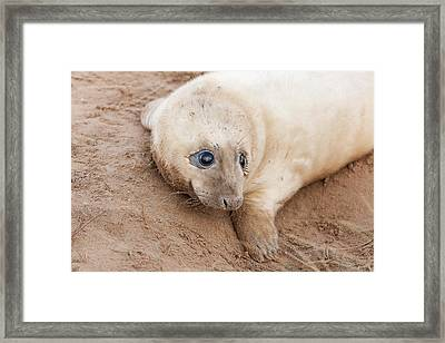 Seal Pup Framed Print
