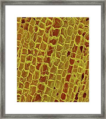 Section Through A Wine Cork Framed Print by Dennis Kunkel Microscopy/science Photo Library