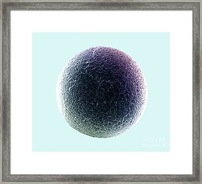 Sem Of The Surface Of The Zona Pellucida Framed Print