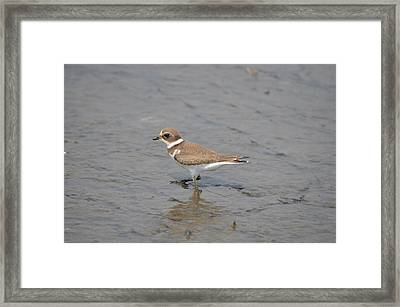 Semipalmated Plover Framed Print