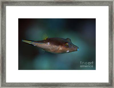 Sharpnose Puffer Framed Print by JT Lewis