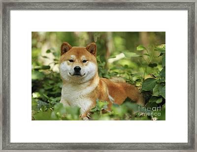 Shiba Inu Dog Framed Print by Jean-Michel Labat