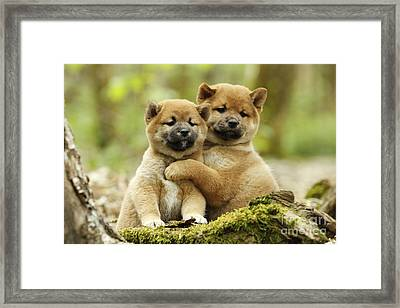 Shiba Inu Puppies Framed Print by Jean-Michel Labat