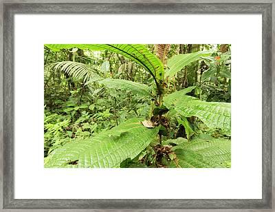 Shield Mantis Framed Print