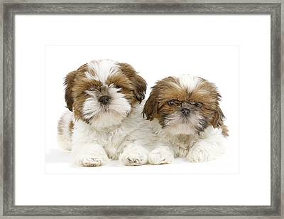 Shih Tzu Puppy Dogs Framed Print by Jean-Michel Labat