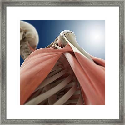Shoulder Anatomy Framed Print