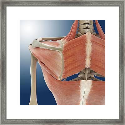 Shoulder And Back Anatomy Framed Print by Springer Medizin