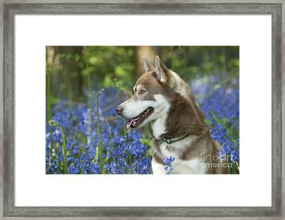 Siberian Husky In Bluebells Framed Print by John Daniels