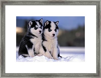 Siberian Husky Puppies Framed Print by Rolf Kopfle