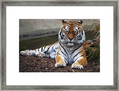 Siberian Tiger Framed Print by Svetlana Sewell