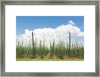 Slovenia.  Hop Fields. Humulus Lupulus Framed Print