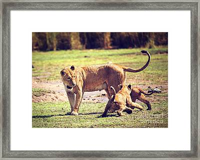 Small Lion Cubs With Mother. Tanzania Framed Print by Michal Bednarek